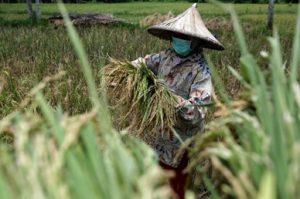 Sumber gambar: https://republika.co.id/berita/q8st6a327/petani-di-kolaka-mulai-panen-padi-saat-pandemi-covid19